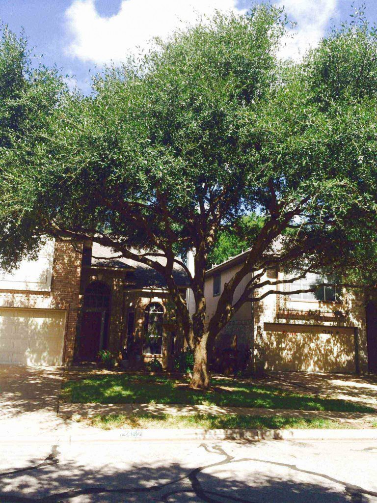 Live-Oak-Trimmed-and-Thinned